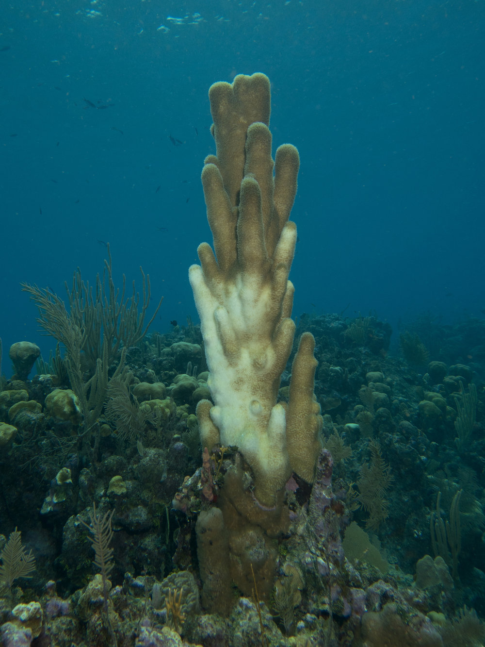 Pillar Coral Bleaching - November 2017 Photo – Mickey Charteris