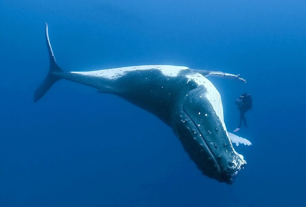 Rebreather diver and Humpback Whale.  Courtesy; Galapagos Rebreathers