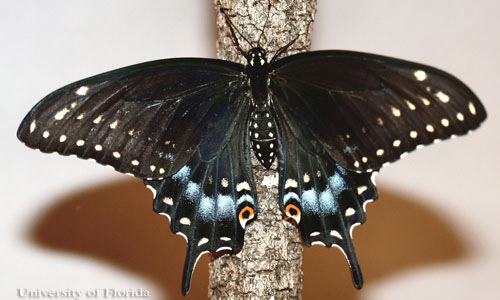 The Eastern Black Swallowtail, possibly linked to our own Hurricane Butterfly genetically.
