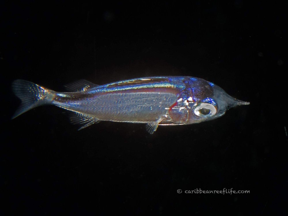 Larval Squirrelfish