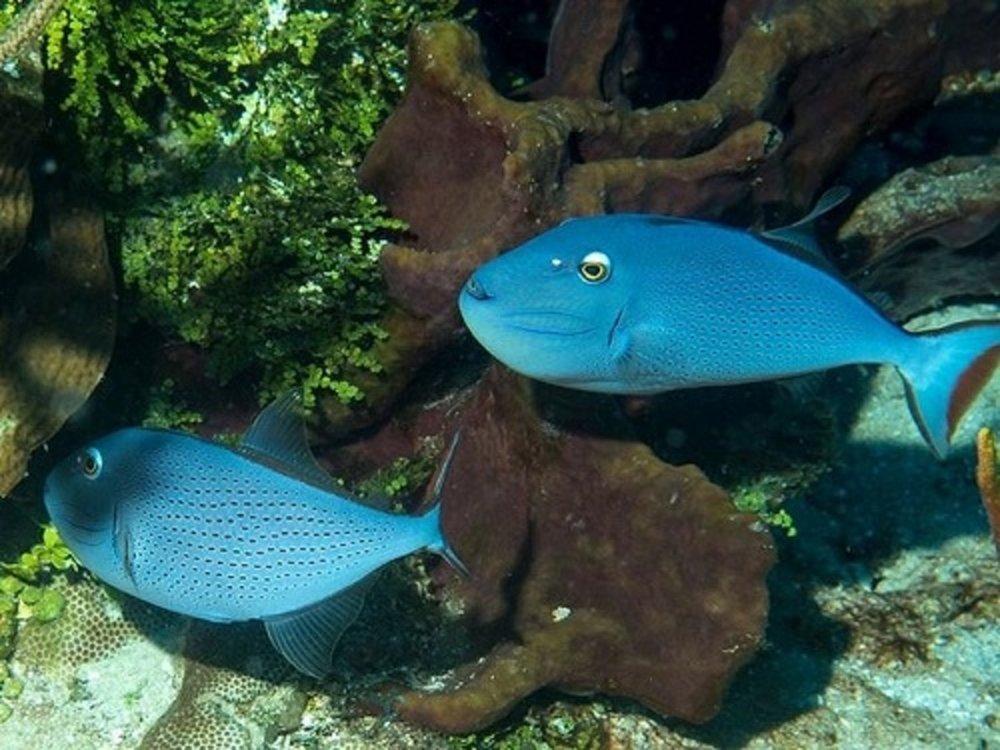 Sargassum Triggerfish