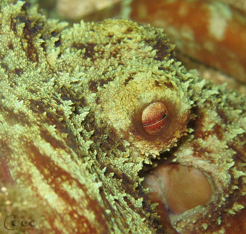 Common Caribbean Octopus' Eye