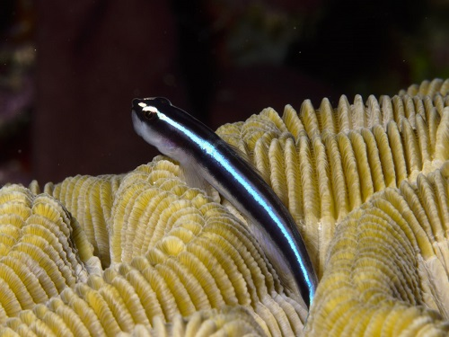 Caribbean Neon Goby