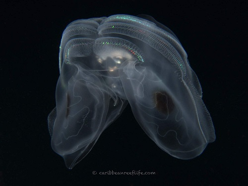 Spotwing Comb Jelly