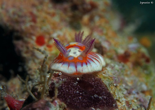 Harlequin Sea Goddess