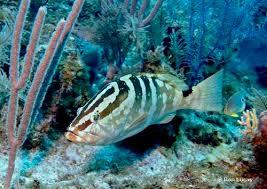 Nassau Grouper - Google images
