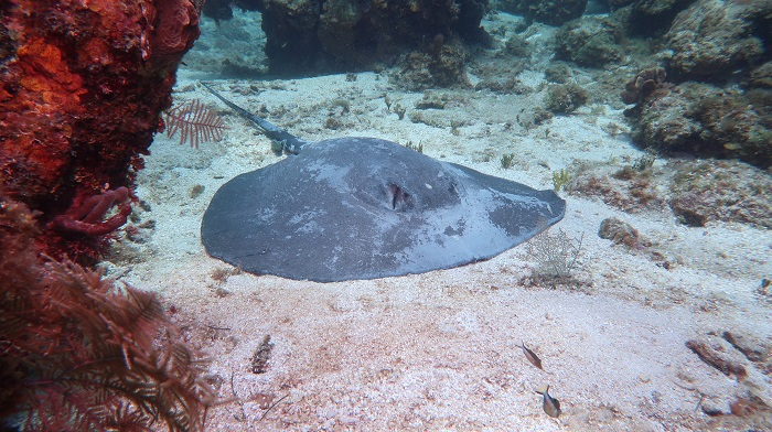 Caribbean Whiptail Stingray