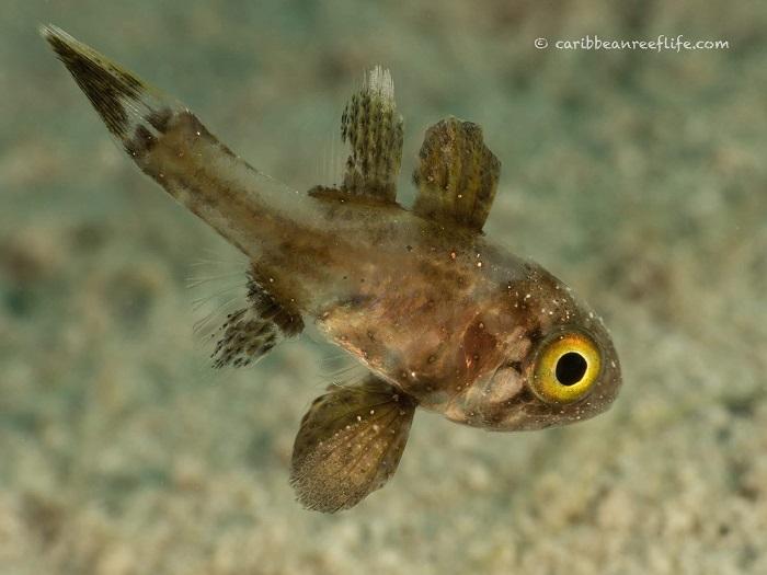 Conchfish