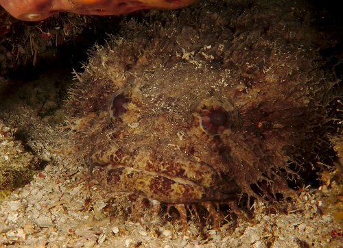 Bearded Toadfish