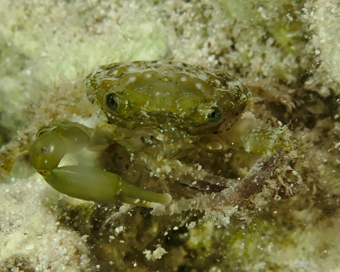 Green Clinging Crab