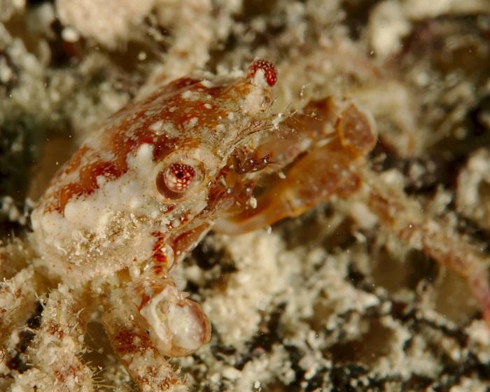 Rubble Crab