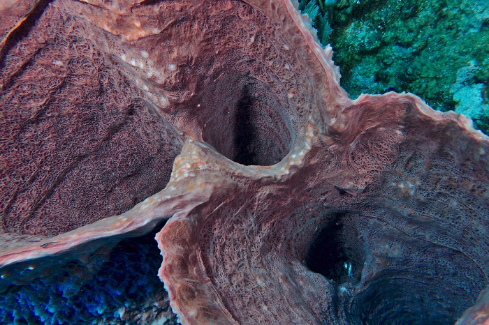 Giant Barrel Sponge at Texas