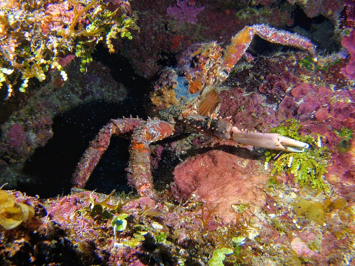 Female Channel Clinging Crab