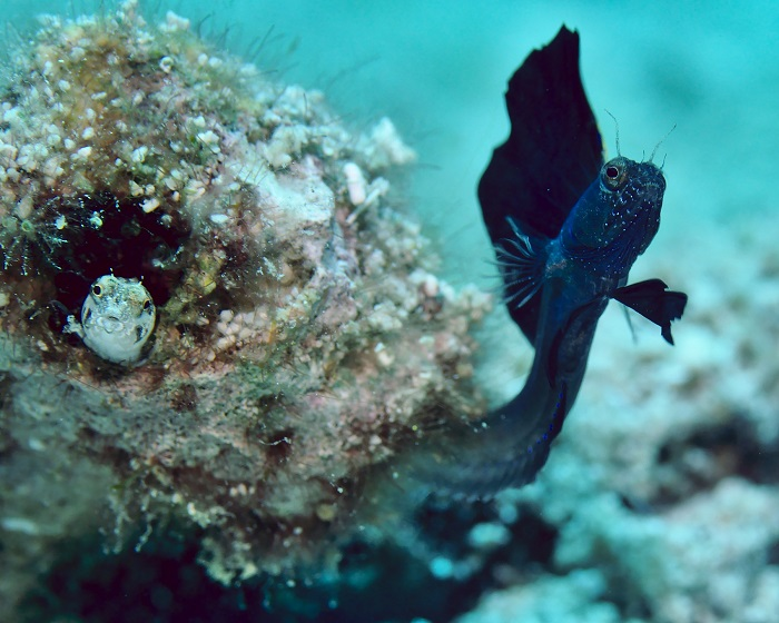 Mr and Mrs Sailfin Blenny