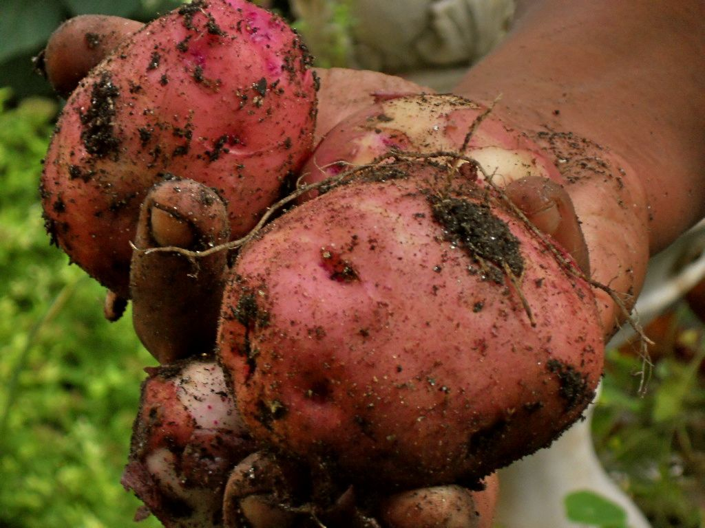Freshly harvested red potatoes.
