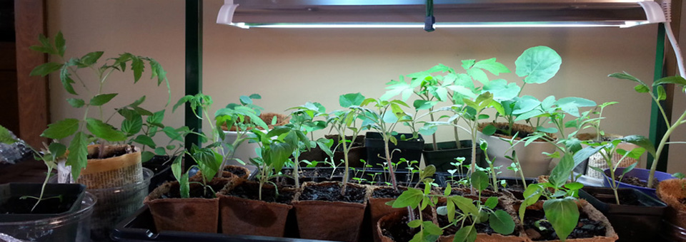 960seedlings under growlight