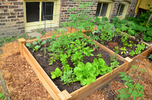 After five weeks, the plants in our raised bed have barely grown. /Seeding Chicago
