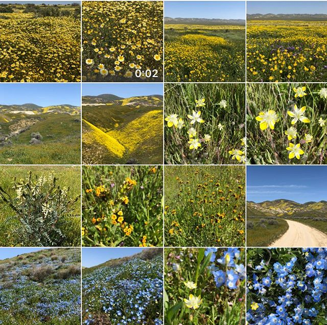 Carrizo Plains National Monument in a snap! I bet next weekend is even better. Not crowded and New Cuyama Buckhorn Cafe is worth the trek.