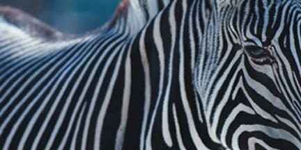 Animals_Zebra.jpg