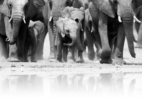 PR_Elephants_B&W.jpg