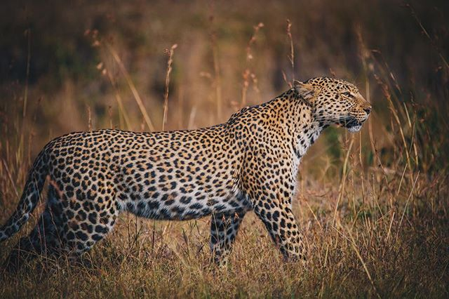 I don't focus on what I'm up against. I focus on my goals and I try to ignore the rest - Venus Williams #igkenya #ig_africa #natgeo#natgeoyourshot #natgeotravel #masaimara #okayafrica #bigcats #wildlife #africageophoto