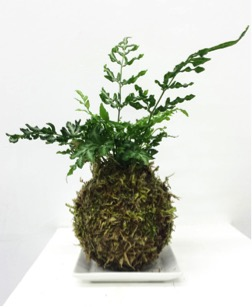 "Example of Kokedama fern (also referred to as ""poor man's bonsai"")."