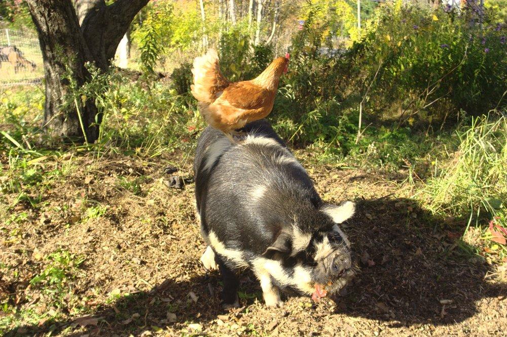 cochon poule.jpg