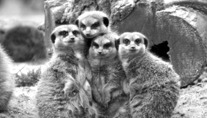 Meerkat Family.png