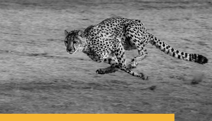 Cheetah Branded.png
