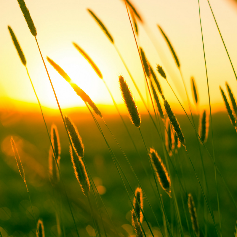wheat peaceful.png