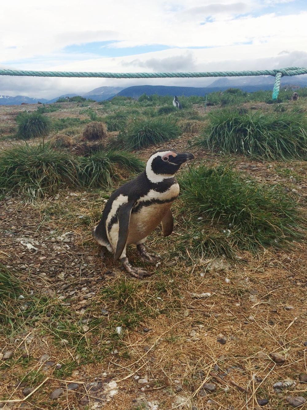 paco penguin.JPG