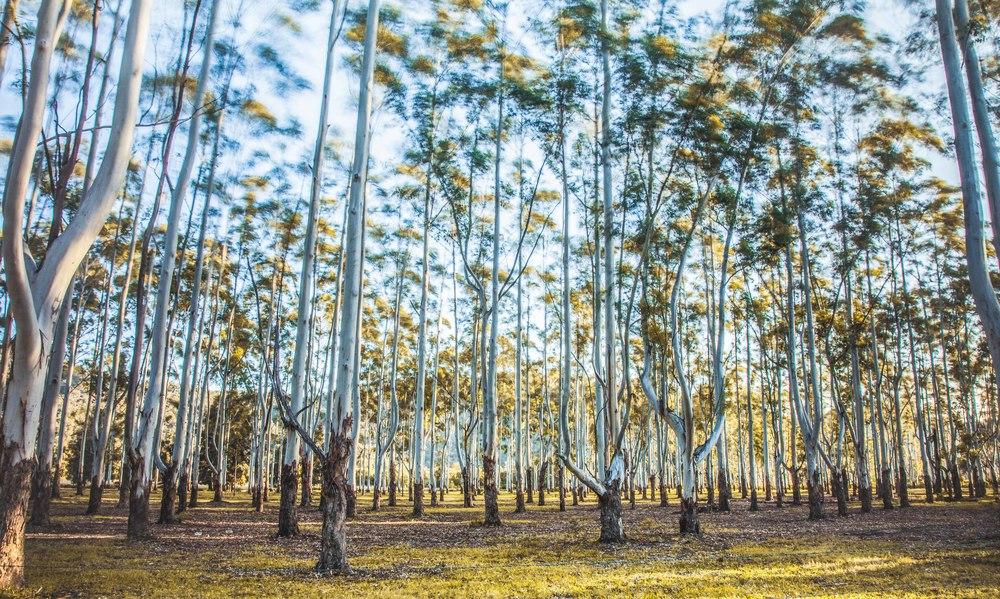Gunderman Tree Farms, NSW