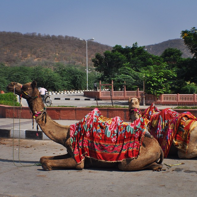 Rickshaw or Camel? #jaipurindia #youfollowthefilm#Roadtrip #camel #spit travelpics #travel #doc #poser #filming