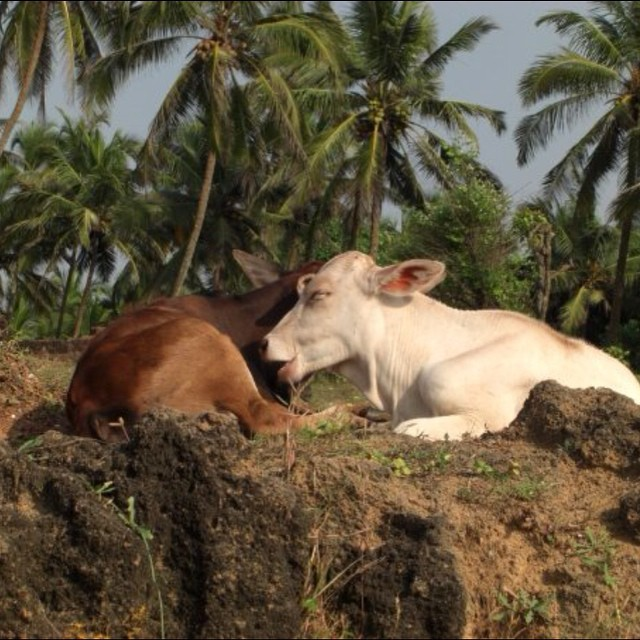 Kissing cows. #youfollowthefilm #film #behindthescenes #onlocation #documentary #indiefilm #indiefilm #moviemagic #paradise #palmtrees #goa #goaindia  (at Goa, India)