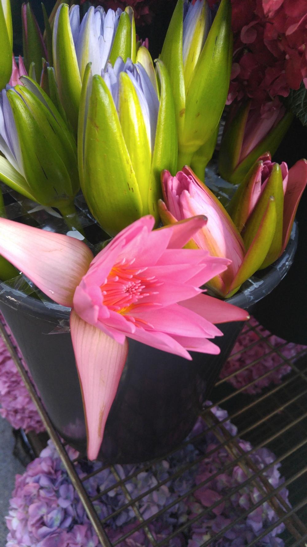 Lotus blooms!!!