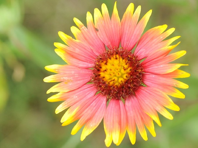 Indian Blanket Flower: Fanfare - Gaillardia aristataLikes: SunBlooms: June - August