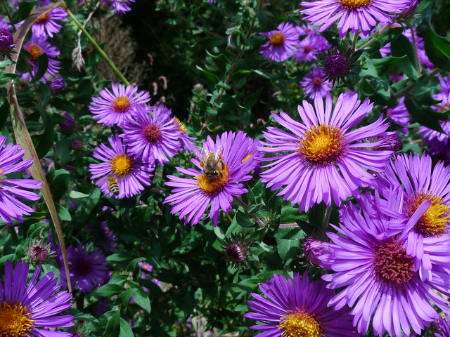 New England Aster - Aster novae-angliaeLikes: SunBlooms: September - October