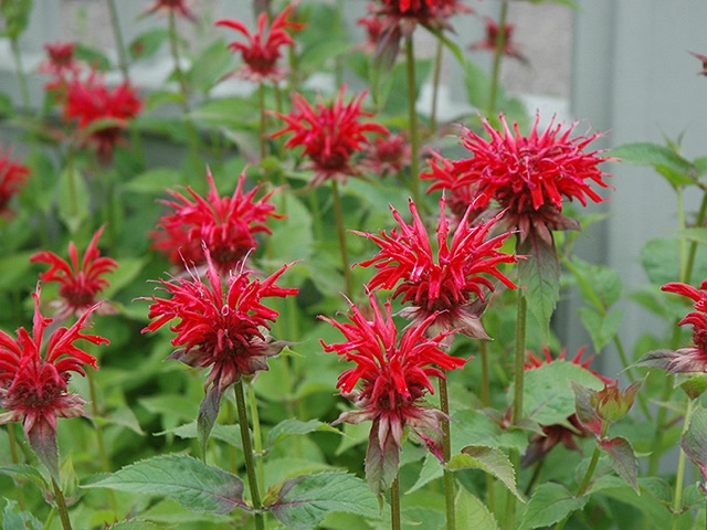 Bee Balm - Jacob ClineLikes: Sun/Partial ShadeBlooms: July - August