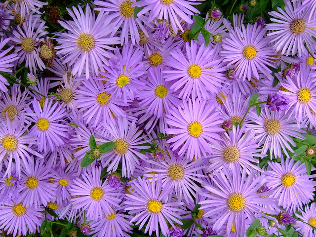 Blue Bird Aster - Aster laevis 'Blue Bird'Likes: Sun/Partial ShadeBlooms: Sept - Oct