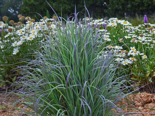Blue Bluestem - Schizachyrium scopariumLikes: Sun/Parrtial ShadeBlooms: September