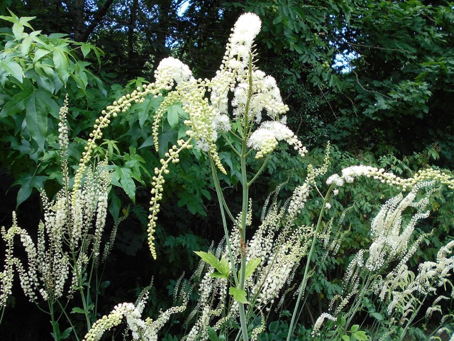 Bugbane - Actaea racemosaLikes: Partial ShadeBlooms: May