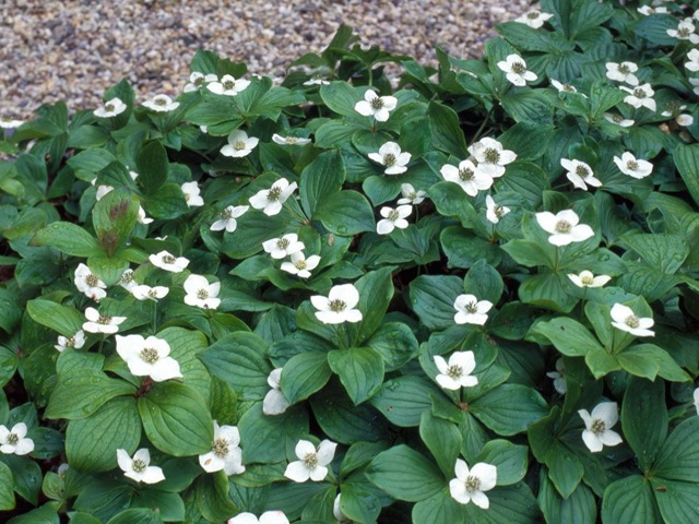 Bunchberry - Cornus canadensisLikes: Partial ShadeBlooms: June - July