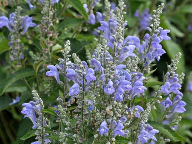 Downey Skullcap - Scutellaria incanaLikes: Sun/Partial ShadeBlooms: August - September