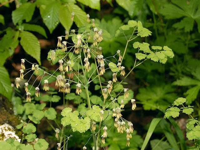 Early Meadow Rue - Thalictrum dioicumLikes: Partial ShadeBlooms: June