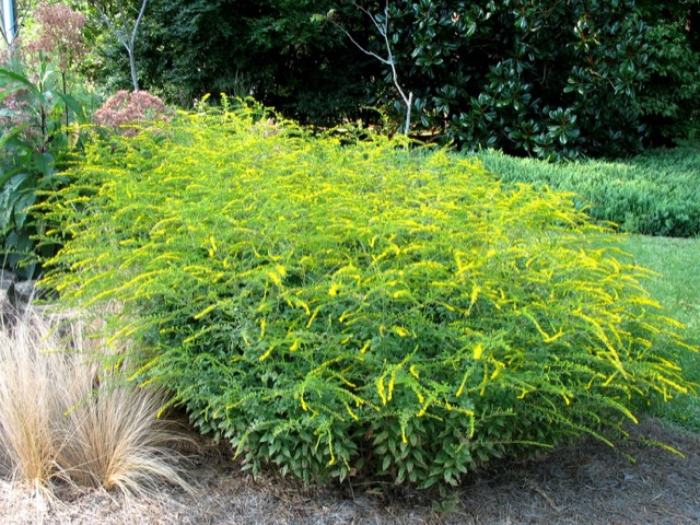 Goldenrod - Solidago rugosa - FireworksLikes: Sun/Partial ShadeBlooms: August - October