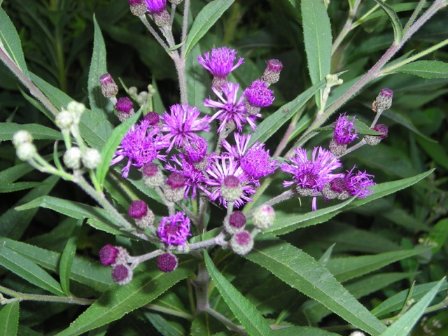 New York Iron Weed - Vernonia noveboracensisLikes: SunBlooms: August - October