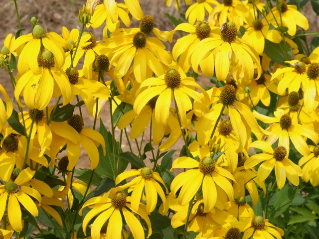 Shiny Cone Flower - Rudbeckia nitida - HerbstsonneLikes: Sun/Partial ShadeBlooms: August - October