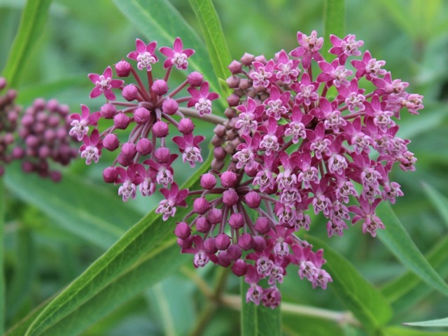 Swamp Milkweed - Asclepias incarnataLikes: Full SunBlooms: June - August