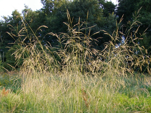 Tussock Grass - Deschampsia cespitosaLikes: Sun/Partial ShadeBlooms: July - August