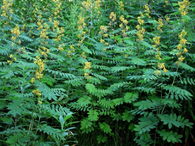 Wild Senna - Senna hebecarpaLikes: Sun/Partial ShadeBlooms: July - September